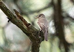 Eastern wood pewee in Central Park (43538).jpg