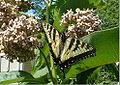 Easterntigerswallowtail2.jpg