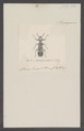Eburifera - Print - Iconographia Zoologica - Special Collections University of Amsterdam - UBAINV0274 026 02 0036.tif
