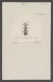Eburifera - Print - Iconographia Zoologica - Special Collections University of Amsterdam - UBAINV0274 026 02 0036.tif