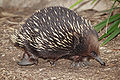 An Echidna at the Melbourne Zoo
