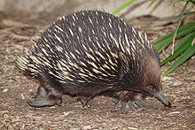 A Short-beaked Echidna on the move