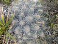 Echinocereus stramineus (5664725450).jpg