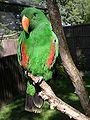 Eclectus parrot male 31l07.JPG