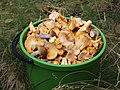 Edible fungi in bucket 2019 G3.jpg