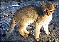 kalahari red goat scientific name