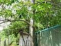 Elaeocarpus ganitrus 08.jpg