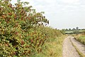 Elder berries beside a farm track - geograph.org.uk - 1497083.jpg