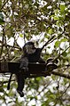 Electrocuted lion-tailed macaque infant in Valparai DSC 2590.jpg