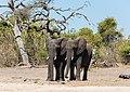 Elefantes africanos de sabana (Loxodonta africana), parque nacional de Chobe, Botsuana, 2018-07-28, DD 12.jpg