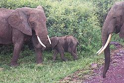 Eléphant 7  dans ELEPHANT