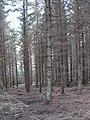 Elibank Forest - geograph.org.uk - 294303.jpg