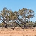 Emu Burke River floodplain Boulia Shire Queensland P1060875.jpg