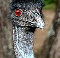 Emu head.jpg