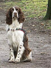 [Image: 180px-English_Springer_Spaniel.jpg]