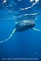 Entangled Humpback Whale (42853281582).jpg