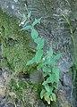 Epilobium montanum kz07.jpg