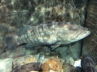 <i>Epinephelus bruneus</i> Species of fish