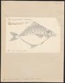 Equula fasciata - 1700-1880 - Print - Iconographia Zoologica - Special Collections University of Amsterdam - UBA01 IZ13500513.tif