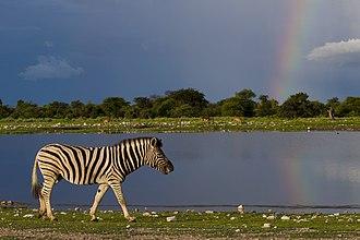 Etosha National Park - Plains zebra, Etosha National Park.