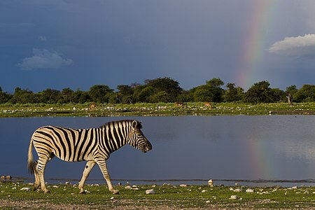 Plains zebra in Namutoni with storm and rainbow in background