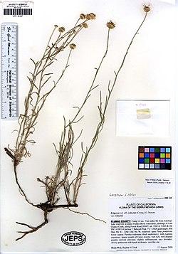 Erigeron filifolius 2 (6287509702).jpg