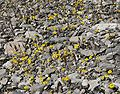 Eriophyllum wallacei 4.jpg
