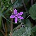 Erodium malacoides-Erodium fausse mauve-Fleur-20190318.jpg