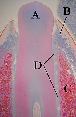 Histologic slide of tooth erupting into the mouth. A: tooth B: gingiva C: bone D: periodontal ligaments