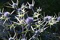 Eryngium amethystinum ENBLA50.jpg