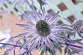 Eryngium planum 'Blue Glitter'.JPG