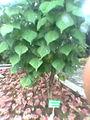 Erythrina indica.jpg