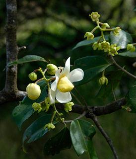 <i>Eschweilera</i> genus of plants