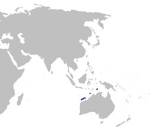 Blackmouth lanternshark species of fish