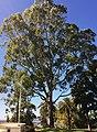 Eucalyptus camaldulensis - Queen's Tree - Kings Park.jpg
