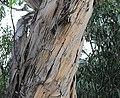 Eucalyptus globulus mexico2017.jpg