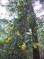 Eucalyptus globulus virága.jpg