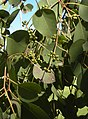 Eucalyptus platyphylla foliage and buds.jpg