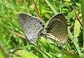 Euchrysops cnejus Fabricius, 1798 – Gram Blue mating at Madayippara (1).jpg