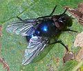 Eudasyphora-cyanicolor-Muscid-fly-20091102b.jpg