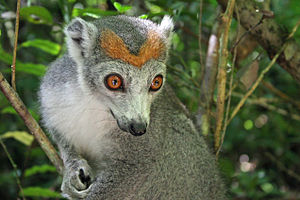 Golden-crowned sifaka - The geographic range of the crowned lemur overlaps the range of the golden-crowned sifaka.