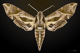 Eumorpha satellitia satellita MHNT CUT 2010 0 8 Edgard, Louisiana dorsal.jpg