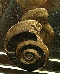 Euomphalus pentangulatus.JPG