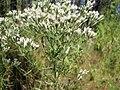 Eupatorium hyssopifolium.jpg