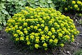 Euphorbia epithymoides.jpg