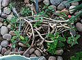 Euphorbia milii 1 - Buffalo Botanical Gardens.jpg