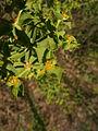 Euphorbia pithyusa 4 Sos Alinos 17072014 40.4322017, 9.7584315.jpg