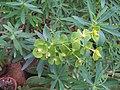 Euphorbia plant.jpg