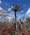Euphorbia sp.6 - Mt. Yokolo (10003715854).jpg