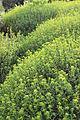 Euphorbia spinosa Wien.jpg